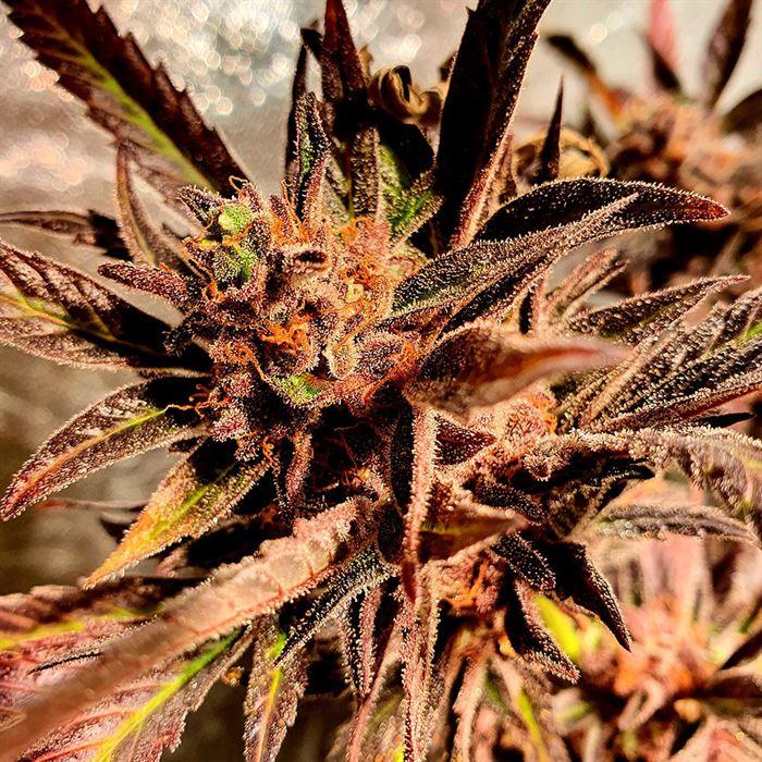 젤리 - Holy Smoke Seeds