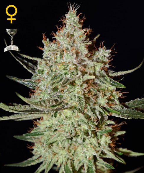 K-Zug - Green House Seeds