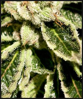 קאיה קוש - Green House Seeds