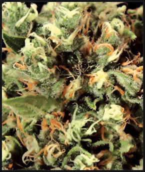 קלצ'ניקובה - Green House Seeds