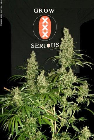 卡利雾 -  Serious Seeds