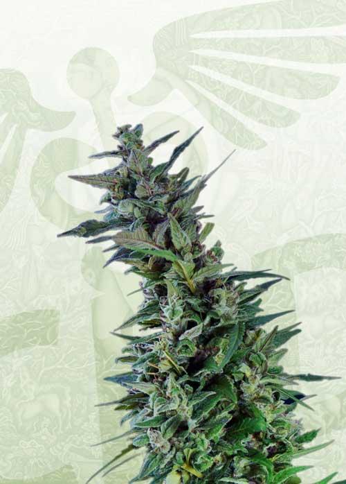 Kama Kush CBD  -  Kannabia Seeds