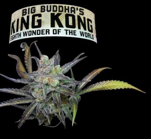 金刚 - Big Buddha Seeds