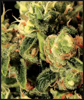 ליידיבורן 1974 - Green House Seeds