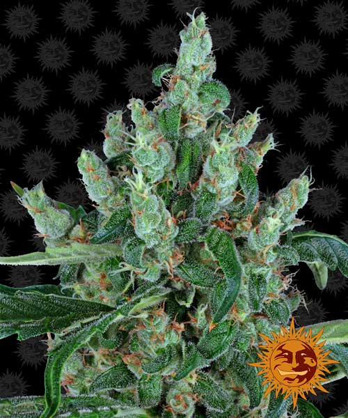 笑佛 -  Barneys Farm Seeds