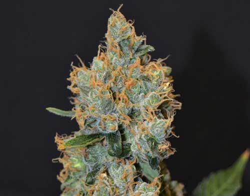 Laventeli - CBD Seeds