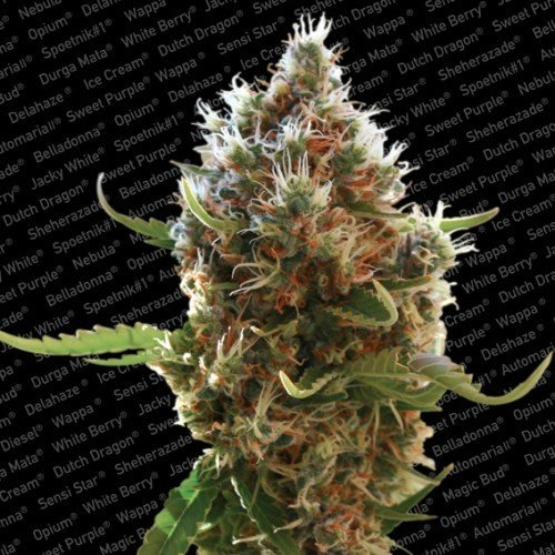 Lucid Bolt - Paradise Seeds