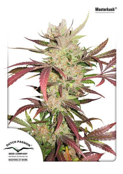 Maestro Kush - Dutch Passion Seeds