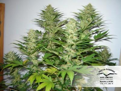 Mazar - Dutch Passion Seeds