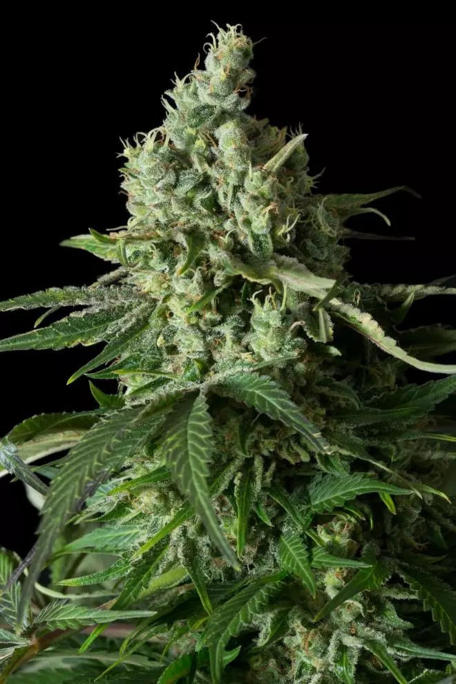 Moby Dick CBD  -  Dinafem Seeds