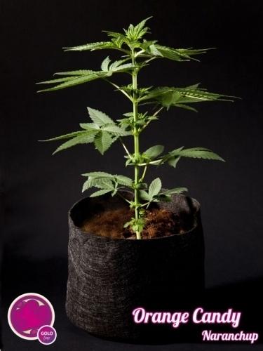 Naranchup  -  Philosopher Seeds