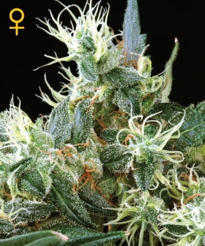 NL Autoflowering - Green House Seeds