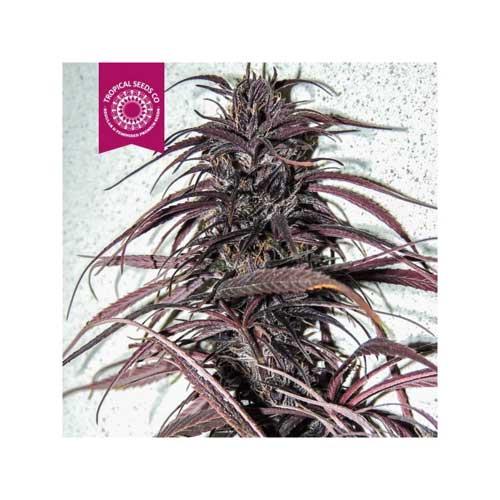 קונגו העתיקה - Tropical Seeds