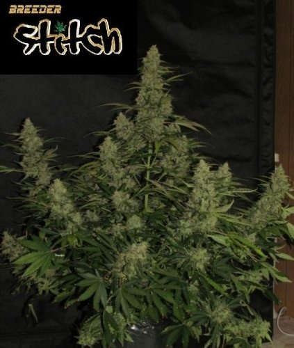 Onyx Auto - Flash Seeds