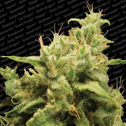 אופיום - Paradise Seeds