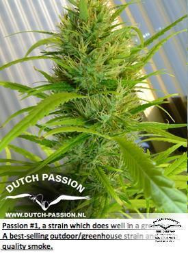 תשוקה #1 - Dutch Passion Seeds