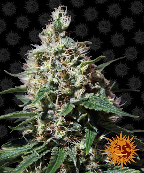 Μέντα Kush - Barneys Farm Seeds