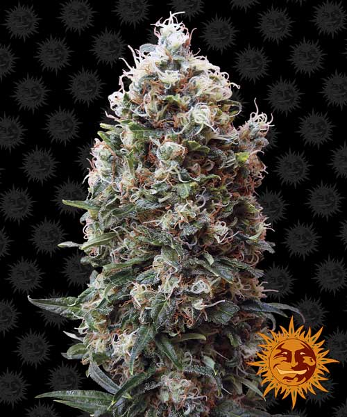 Phatt Fruity  -  Barneys Farm Seeds