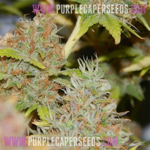 Purple Caper by Purple Caper Seeds from Seed City