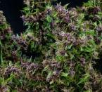 סגול פארו עמק - Mandala Seeds