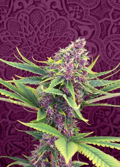 סגול קוש - Kannabia Seeds