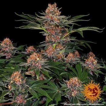 Cú đấm màu tím - Barneys Farm Seeds