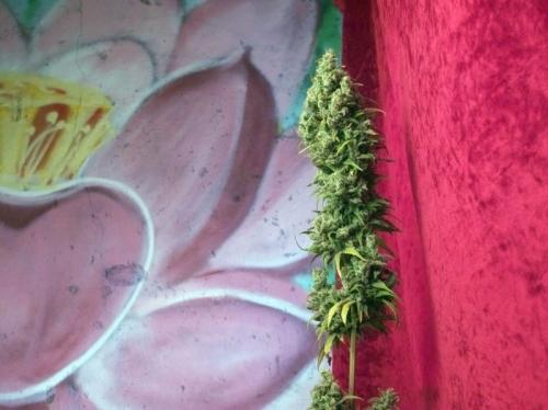 존경 - Reggae Seeds