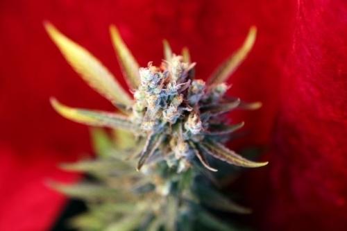 혁명 - Reggae Seeds