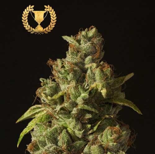 רולקס אוג קוש - Devil's Harvest Seeds