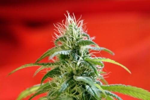 뿌리 - Reggae Seeds