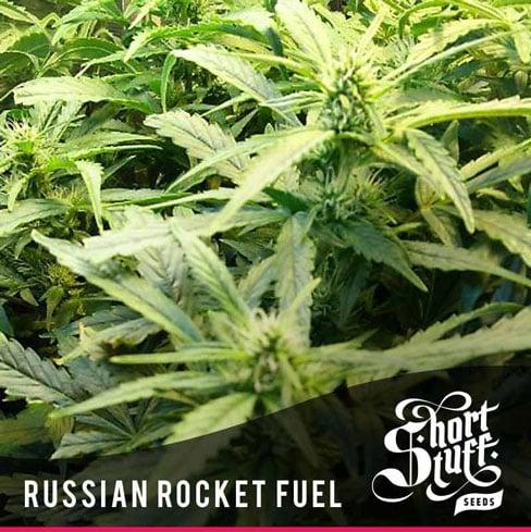 俄罗斯火箭燃料 -  Short Stuff Seeds