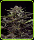 SALE - Auto Blueberry-Dutch Passion Seeds
