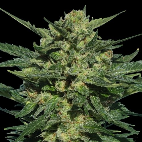 White Russian Autofiorenti - Serious Seeds