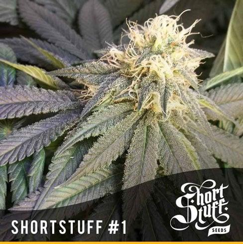 短片#1  -  Short Stuff Seeds