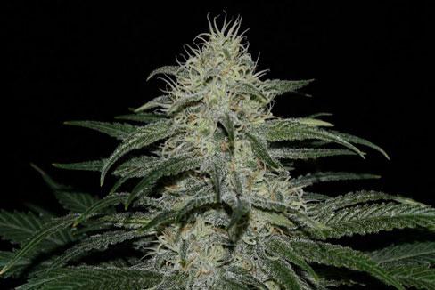 Sour Grape Kush - Ultra Genetics