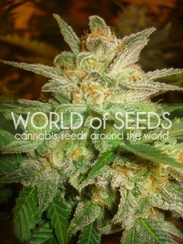 כוכב 47 - World of Seeds