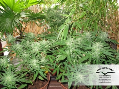 StarRyder Automatic - Dutch Passion Seeds