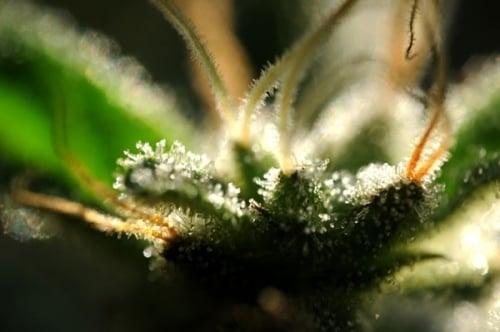 סקרונק תות - Delta 9 Labs Seeds
