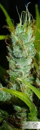 草莓咳嗽 -  Dutch Passion Seeds