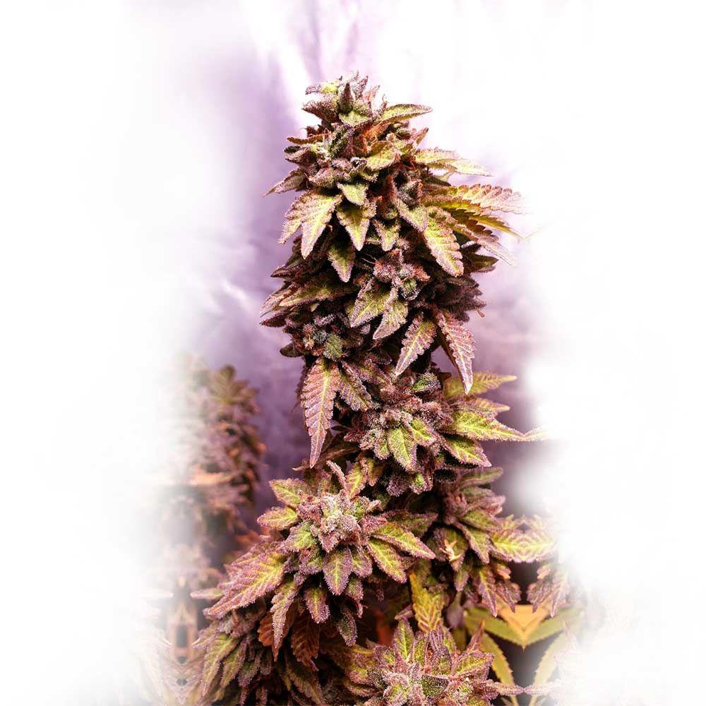 딸기 다우 파운드- Holy Smoke Seeds