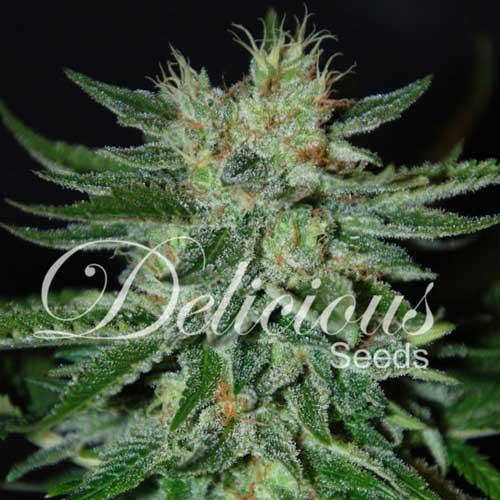 糖黑玫瑰 -  Delicious Seeds