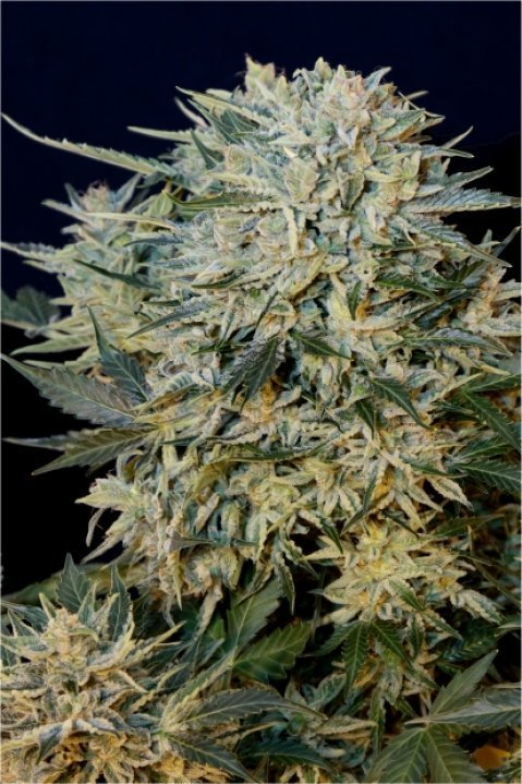 Sugar GOM - Grassomatic Seeds