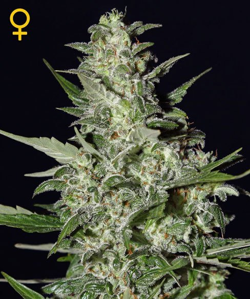 Super Critical Auto-blomning - Green House Seeds