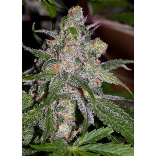 Sweet Tooth3 BX1  -  Alpine Seeds