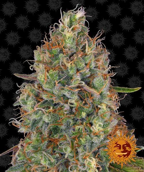 מתוק השן Autoflowering - Barneys Farm Seeds