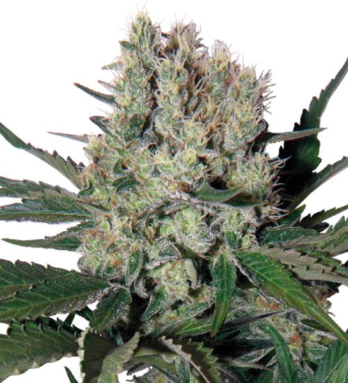 糖浆 - Buddha Seeds