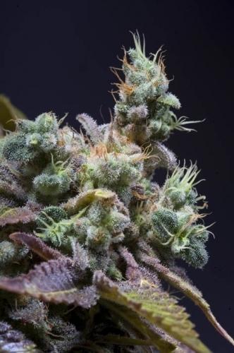 Txomango - Genehtik Seeds
