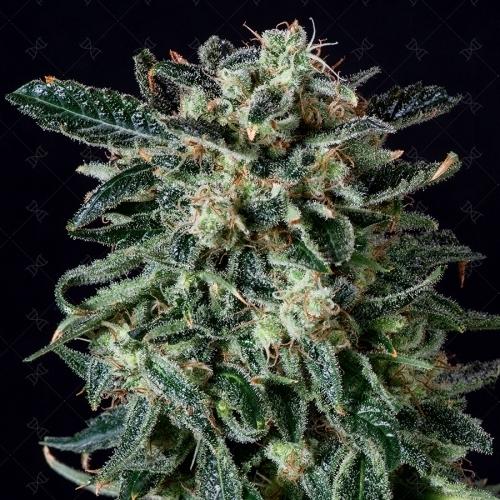 רעם ערפל אוטומטי - Genofarm Seeds