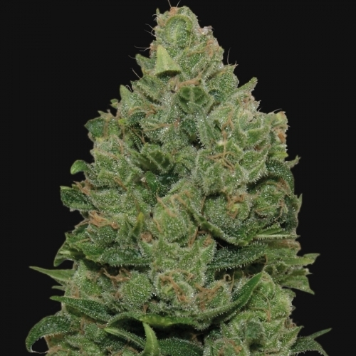 Top Dawg - Barneys Farm Seeds