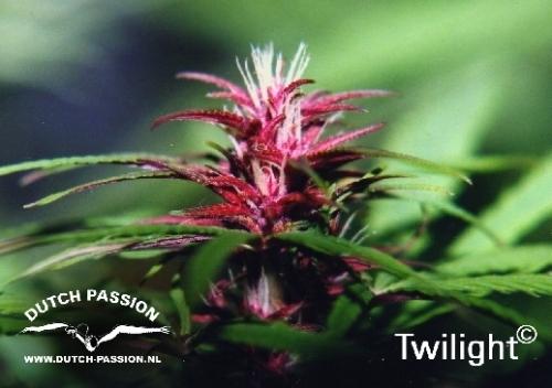 暮光之城 -  Dutch Passion Seeds